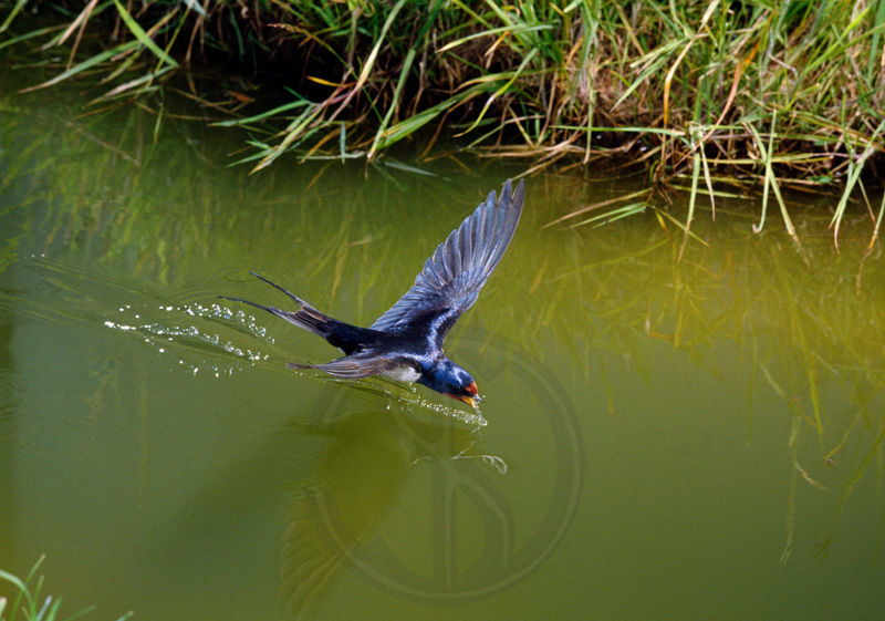 SWALLOW DRINKING