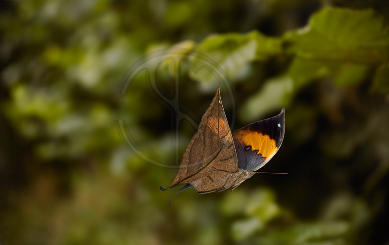 INDIAN LEAF BUTTERFLY