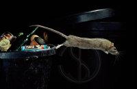 LEAPING BROWN RAT