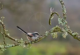 Long-tailed Tit 136
