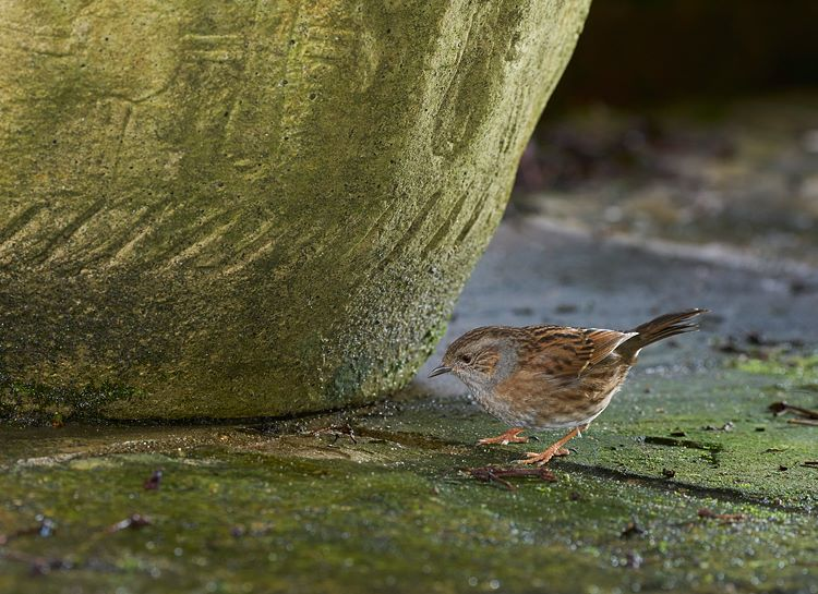 Dunnock or Hedge Sparrow 841