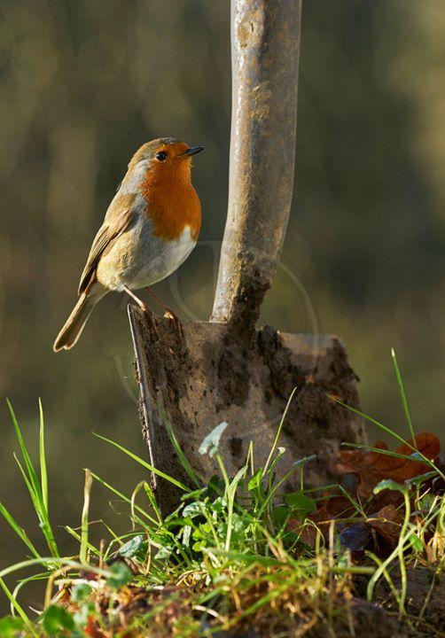 Robin on Spade 480