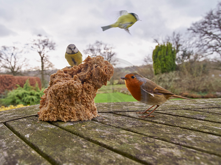 Blue Tits and Robin feeding on loaf of bread 319