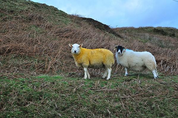 Yellow Sheep!