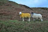 Yellow Sheep!