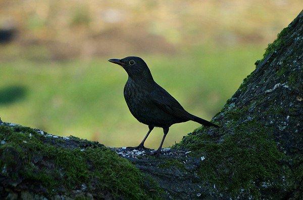 Blackbird?