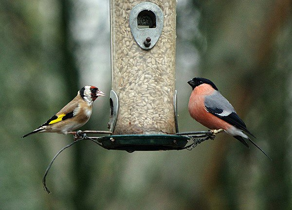 Goldfinch & Bullfinch