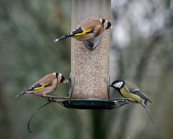 Goldfinches and Great Tit