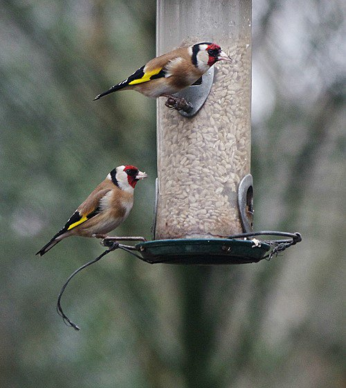 A pair of Goldfinches