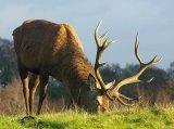 Deer Grazing.