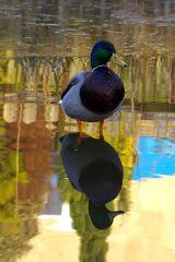 Reflections of a Mallard