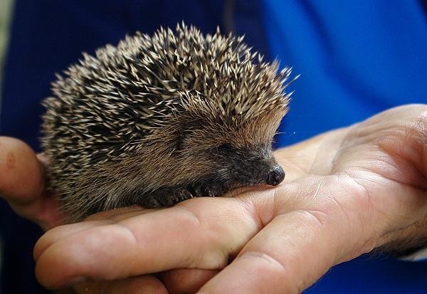A Handful of Hedgehog!