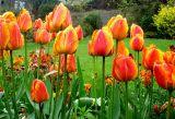 Mum's Tulips