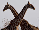 Neck and Neck, Etosha, Namibia
