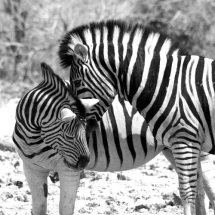 'Zebras Crossing'