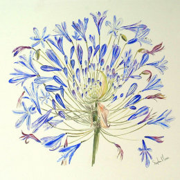 Agapanthus (Stages of Flowering)