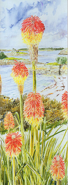 Red Hot Pokers, Thomas Porth, St Marys, Isles of Scilly