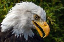 "American Bald Eagle ""Haliaeetus leucocephalus"""