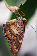 "Red Lacewing ""Cethosia biblis"""