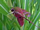 "Elephant Hawk-Moth ""Deilephila elpenor"""