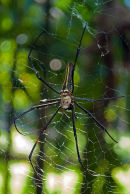 Giant Wood Spider (Nephila maculata)