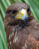 "Harris Hawk ""Parabuteo unicinctus"""