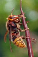 "Hornet ""Vespa crabro"""