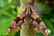 Lime Hawk-Moth 'Mimas tiliae'