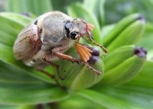 """May Bug """"Melolontha melolontha"""""""