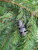 Morimus funereus (Longhorn Beetle)