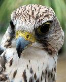 "Saker Falcon ""Falco cherrug"""