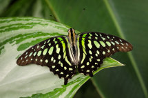 Tailed Jay 'Graphium agamemnon'