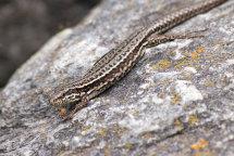 Wall Lizard (Podarcis muralis)