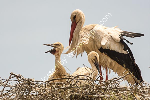 Black and white stork 2