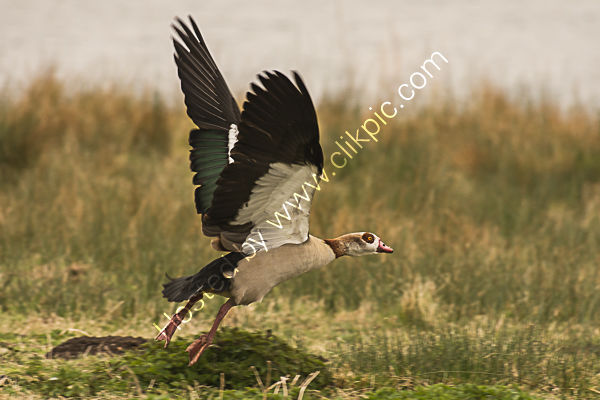 Egyptian goose 2