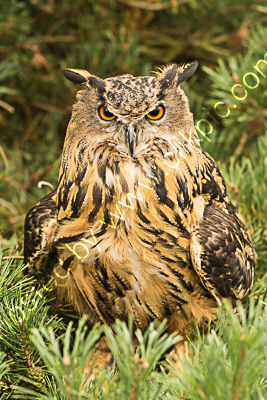 Eurasian eagle owl 4