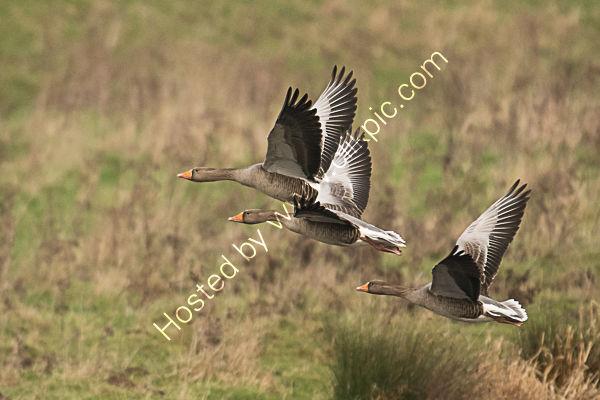 Greylag geese 4