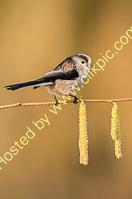 Long tailed tit 3