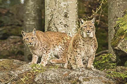 Lynx 16