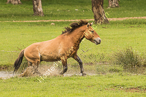 Przewalski's horse 3