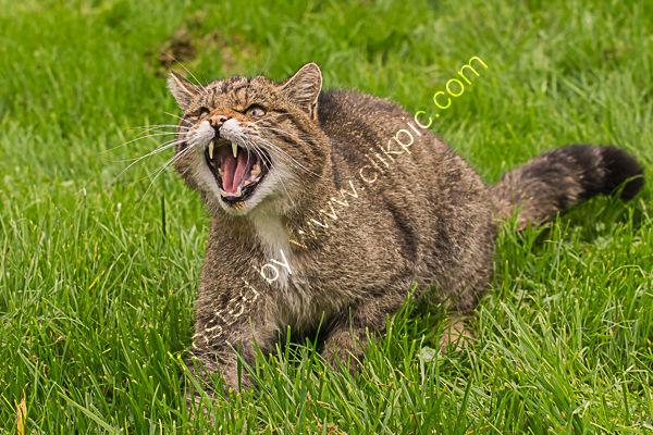 Scottish wildcat 1