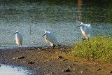 3-Little-Egret