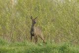 Alert-Roe-Deer
