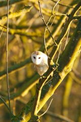 Barn-owl-in-tree