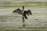 Cormorant-drying-out