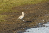 Curlew-striding-out