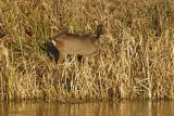 Deer at Marsh