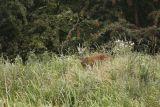 Elusive Deer