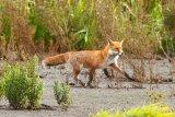 Fox-in-Marshland 2