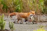 Fox-in-Marshland